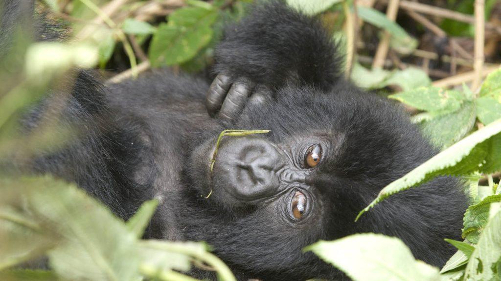 Gorilla Trekking, Uganda and Rwanda