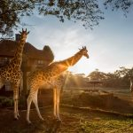 Giraffe Manor Kenya: A Guide