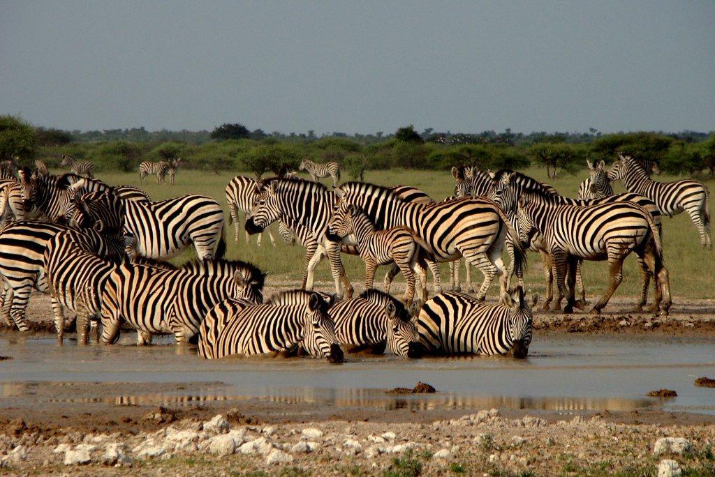 Nxai zebra