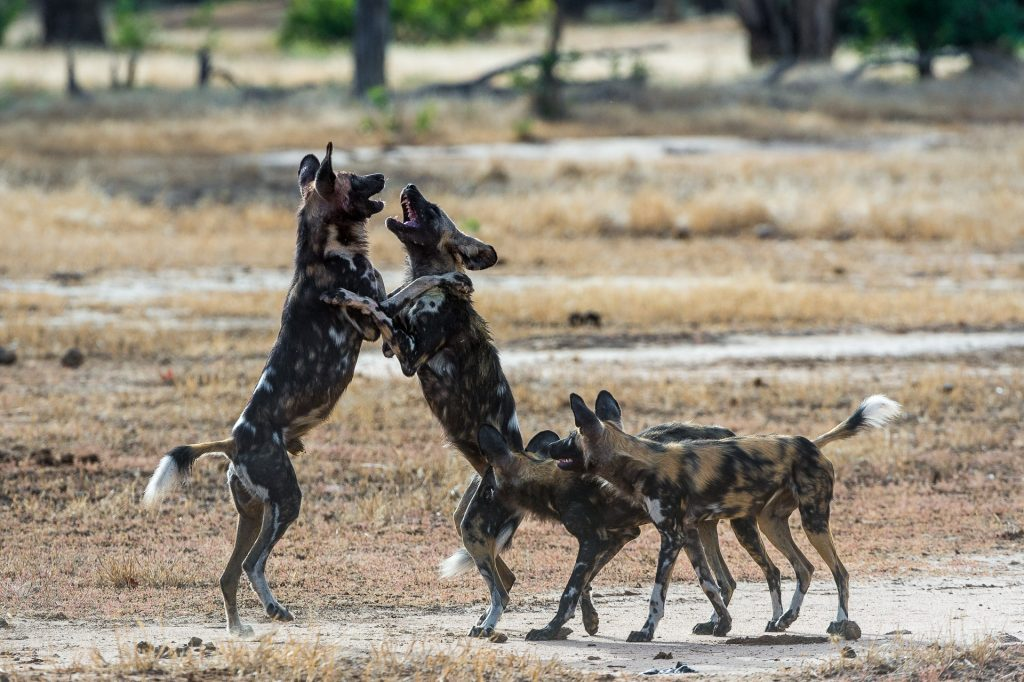 Where to see Wild Dogs in Africa
