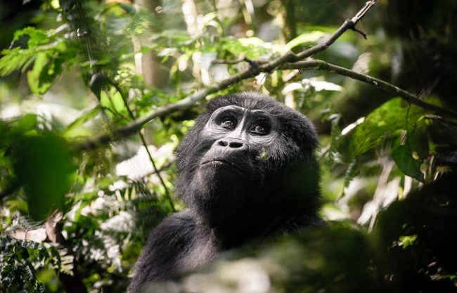 A Guide to Mountain Gorilla Trekking Safaris in East Africa