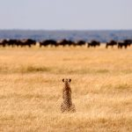 Serengeti Migration Spectacle Under Threat
