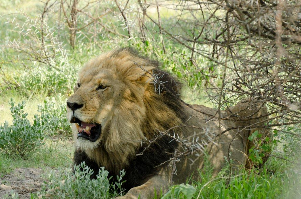 Tau lion