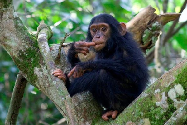 mountain gorilla; gorilla trekking