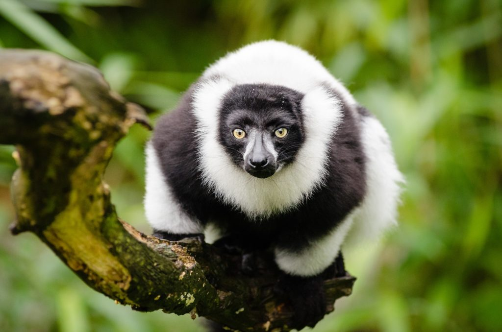 Leaping to Help Madagascar's Lemurs