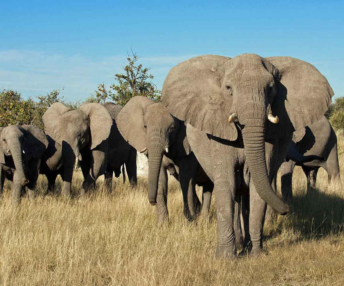 elepahnts in botswana