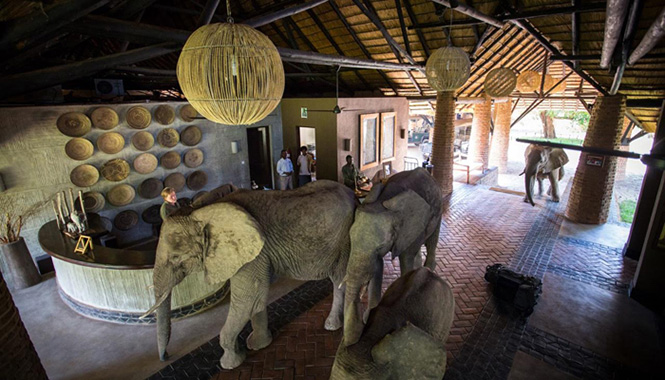 Elephants March through Lodge Reception at Mfuwe