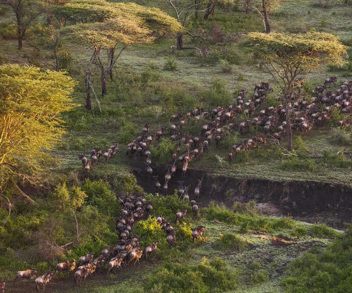 Serengeti Wildebeest Migration Secrets