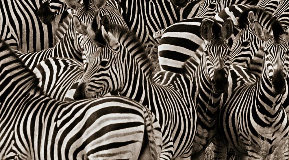 African safari, zebra