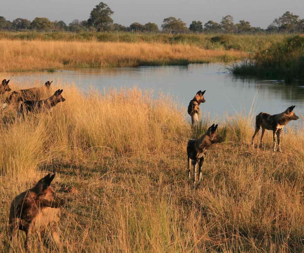 wild dogs at Kwando Lagoon